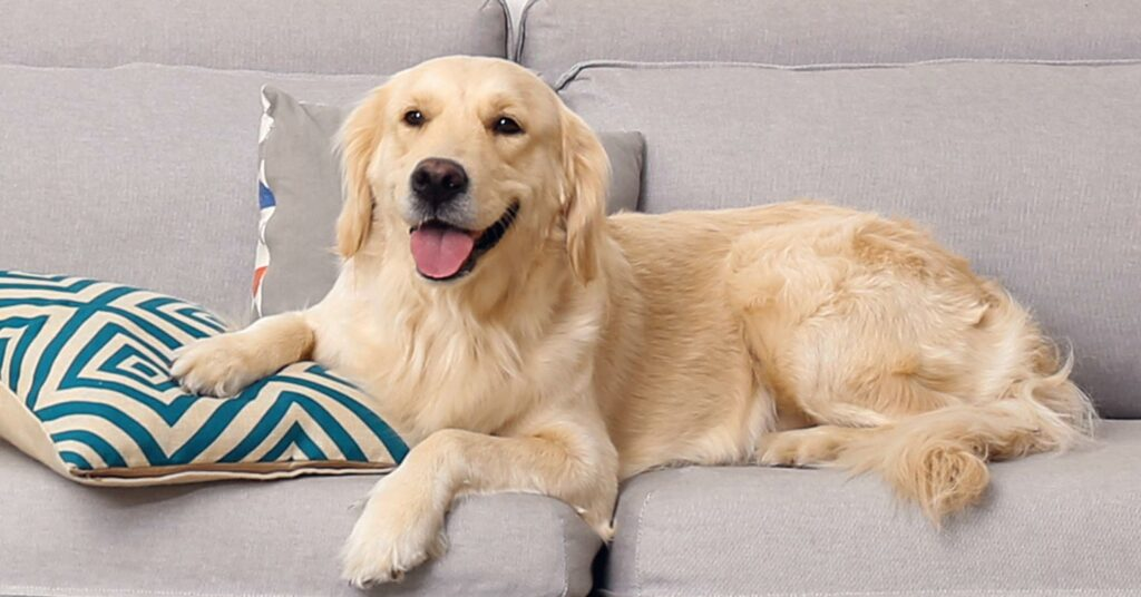 a large brown dog lying on a couch